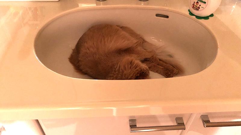 洗面ボウルの中のミコ