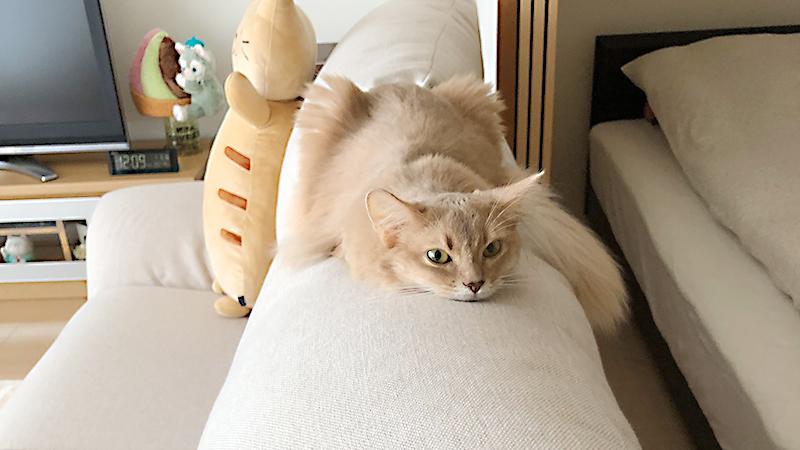 ソファの上のミコ