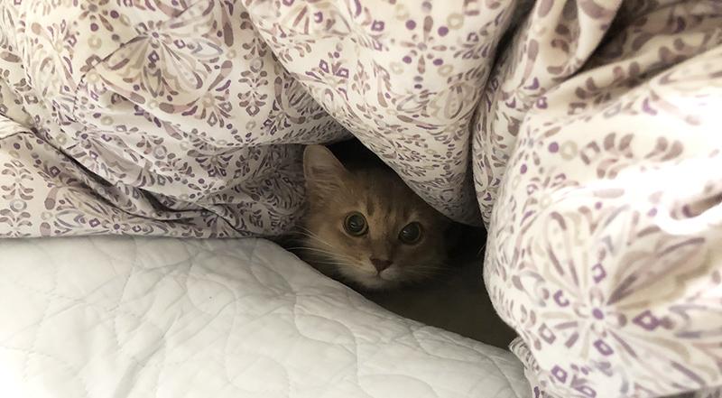 布団の中で休むミコ