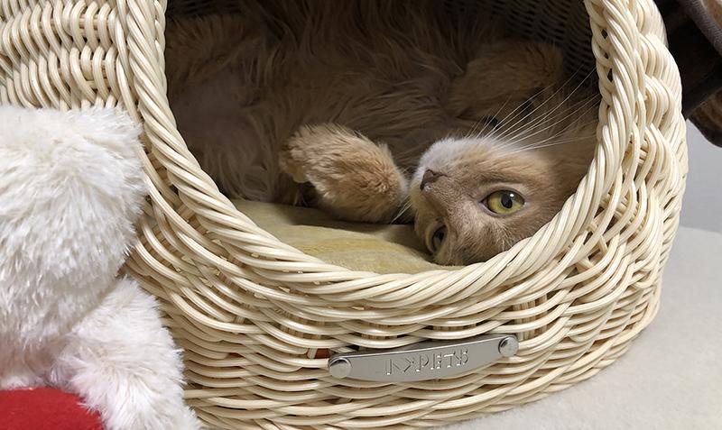 ミコ、カゴの中で寝る